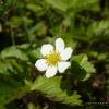 Земляника в цвету